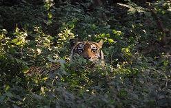 Le nombre de tigres a doublé au Népal